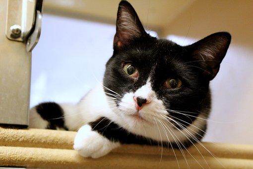 Cat, Feline, Tuxedo, Kitten, Animal, Pet, Portrait