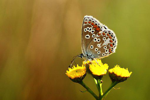 Butterfly, Common Blue, Insect, Nature, Summer