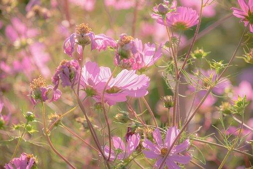 Cosmea, Flowers, Bloom, Pink, Cosmos, Flora