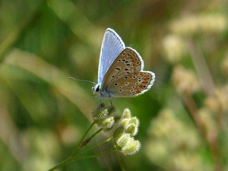 Blue Butterfly, Blaveta, Butterfly, Detail