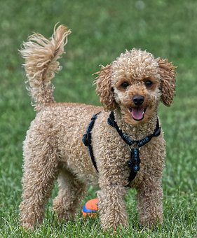 Poodle, Animal Photography, Playful, Dog, Pet, Cute