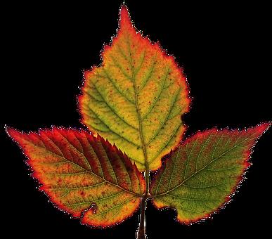 Leaf, Autumn, Fall, Veins, Colourful, Garden, Cut Out