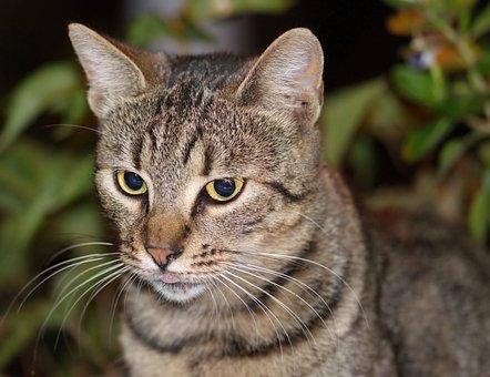 Cat, Pet, Mammalian, Feline, Domestic, Almost, Head