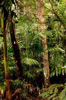 Rain Forest, Forest, Gum Trees, Eucalypts, Palms, Ferns