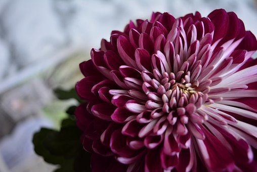 Flower, Chrysanthemum, Of Course I Am, Nature, Flowers