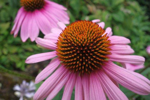 Echinacea, Close Up, Coneflower, Nature, Flower