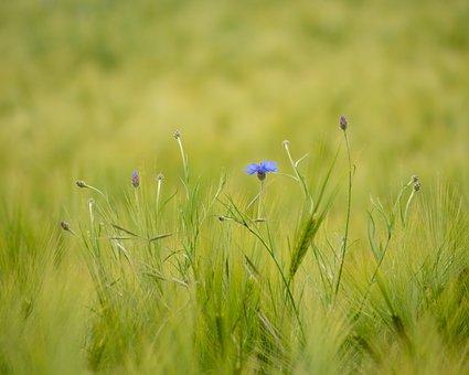 Cornflower, Corn, Summer, Field, Nature, Flower, Blue