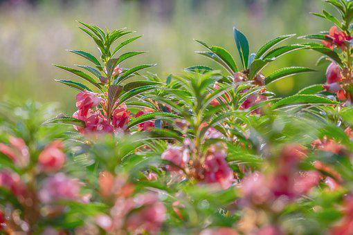 Balsam, Ornamental Plant, Flower, Blossom, Bloom, Pink