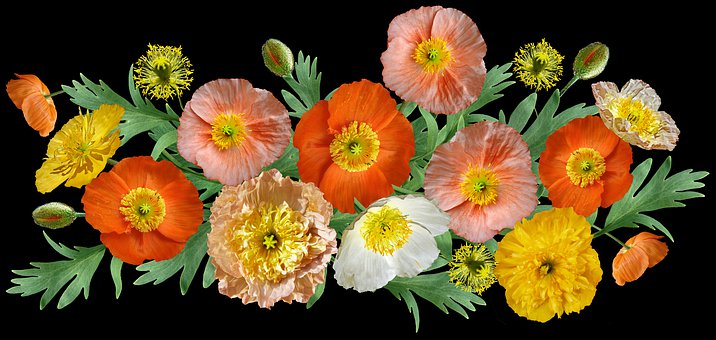 Poppies, Iceland, Flowers, Leaves, Arrangement, Garden
