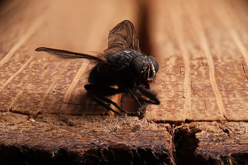 Fly, Common Housefly, Nature, Insects, Muscidae