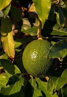 Reed Avocado, Avocado, Shiny, Round, Fruit, Green, Tree