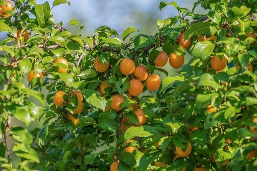 Fruit Tree, Wild Plum, Small Yellow, Cherry Plum, Fruit