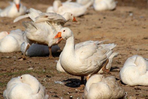 Geese, Feather, Animal World, Birds, Art Fair