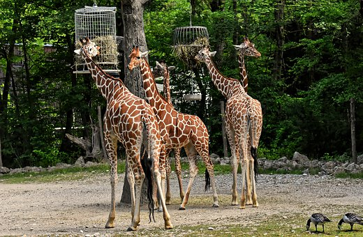 Giraffes, Wild Animal, Stains, Long Jibe, Animals