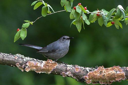 Gray Catbird, Bird, Perched On A Branch