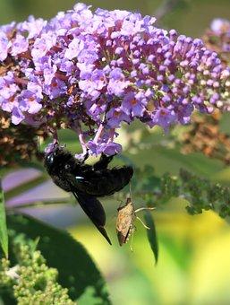 Black Wooden Bee, Hornet, Bug, Nectar Robbers