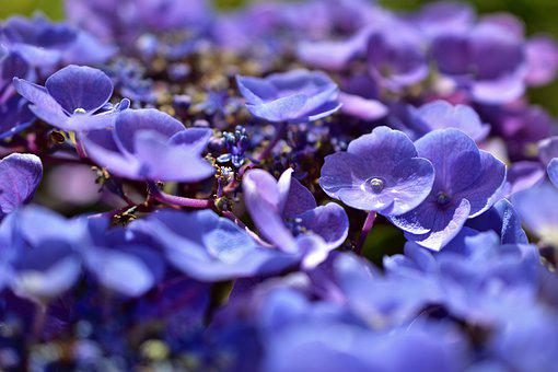 Hydrangea, Hydrangea Flowers, Flowers, Ornamental Shrub