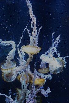 Animal, Marin, Ocean, Blue, Swim, Creature, Jellyfish