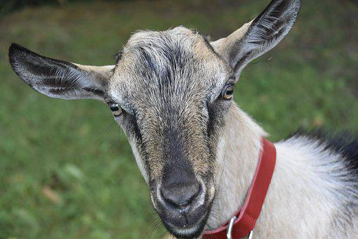 Goat, Goat Jupiter, Herbivore, Ruminant, Kid, Mammal