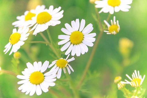 Marguerite, Love, Yellow, White, Flower, Petals, Herbs