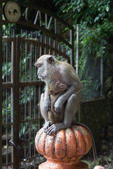 Mono, Monkeys, Mother, Kuala Lumpur, Batu Caves