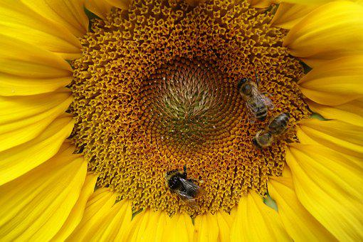 Sunflower, Bees, Pollen, Yellow, Flower, Nature, Summer