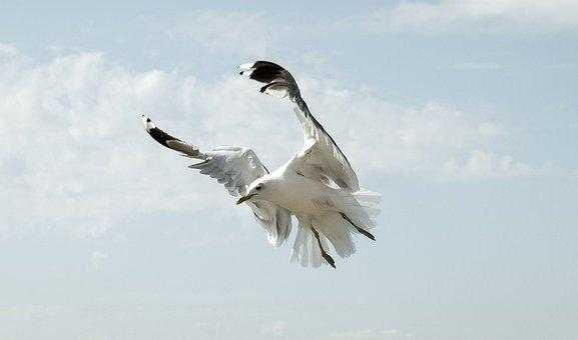 Seagull, Flight, Bird, Sky, Nature, Freedom, Flying