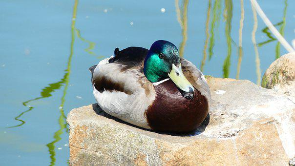 Duck, Bird, Water Bird, Animal, Male, Plumage, Nature
