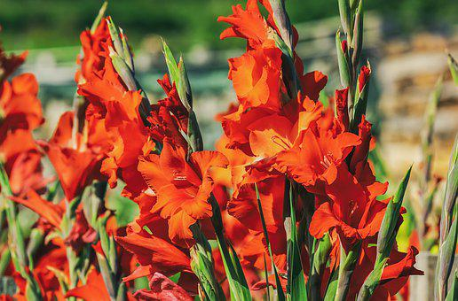 Gladiolus, Flower, Blossom, Bloom, Bright, Orange