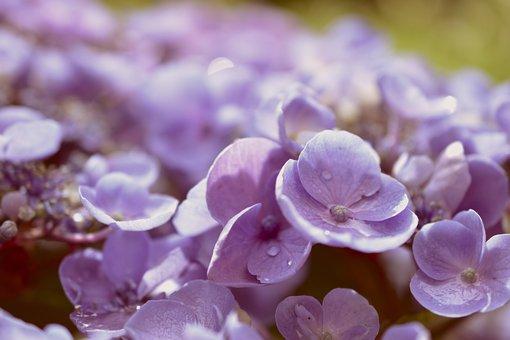Hydrangea, Hydrangea Flower, Flowers, Petals, Wet