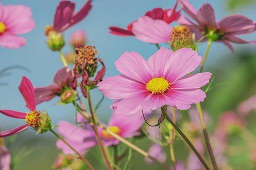 Cosmea, Flower, Blossom, Bloom, Pink, Petals, Romantic