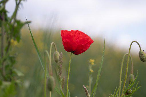 Poppy, Field, Nature, Flower, Red, Summer, Bloom