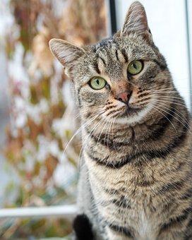 Cat, Pet, Mammalian, Feline, Domestic, Gray, Sitting