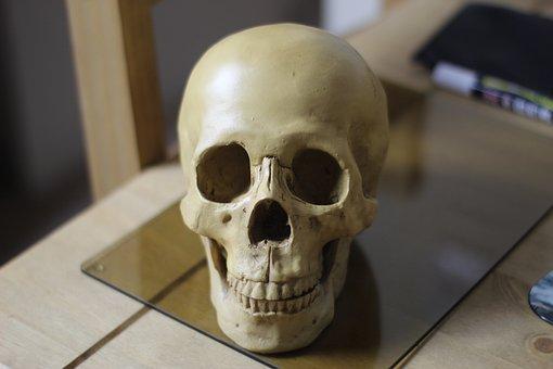 Replica Skull, Human Head, Human Skull, Skull, Human