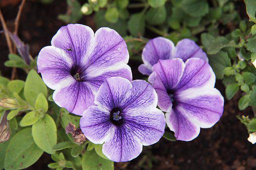 Petunia, Mauve, Starfish, Flower