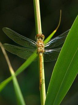 Golden Dragonfly, Sympetrum Meridionale, Stem