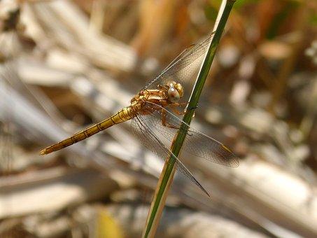Golden Dragonfly, Sympetrum Meridionale, Stem, Junco