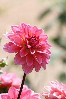 Dahlia, Pink, Flower, Summer Flowers, Portrait Format