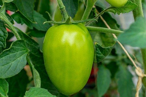 Tomato, Green, Garden, Healthy, Vegetables, Fresh