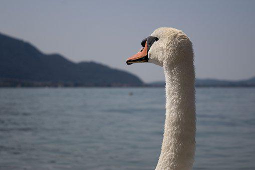 Swan, Lake, Nature, Waters, Animal, Swim, Feather