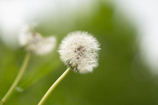 Dandelion, Plant, Nature, Summer, Flora, Wind, White