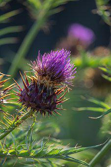 Thistle, Common Donkey Thistle, Wool Thistle