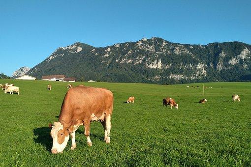 Cows, Inzell, Pasture, Alm, Alpine, Brown, Evening Sun