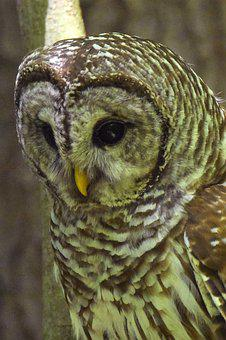 Barred Owl, Closeup Semi-profile, Large Bird