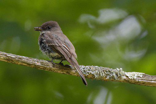 Bird, Eastern Phoebe, Large Flycatcher, Semi-profile