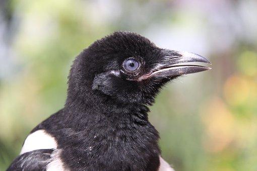 Elster, Raven Bird, Bird, Animal, Portrait, Head, Birds