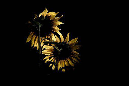 Sunflower, Against The Light, Flower, Black, Nature