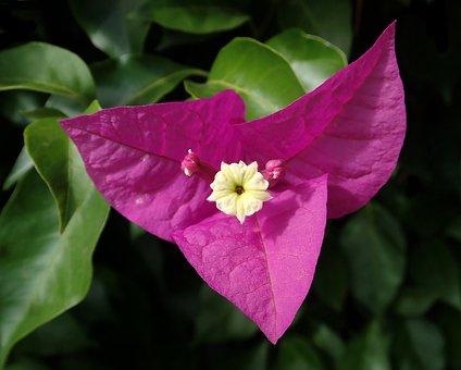 Flower, Bouganvillea, Climbing, Shrub, Garden, Nature