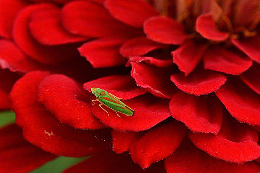 Zinnia, Blossom, Bloom, Red, Insect, Contrast, Colorful