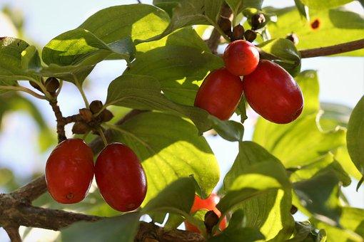 Cornus Mas, Cornelian Cherry, Red Berries, Plant